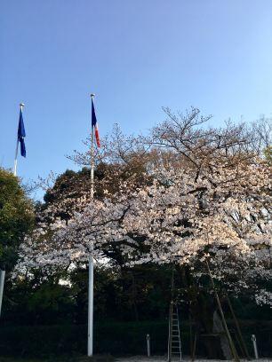 ambass cerisiers